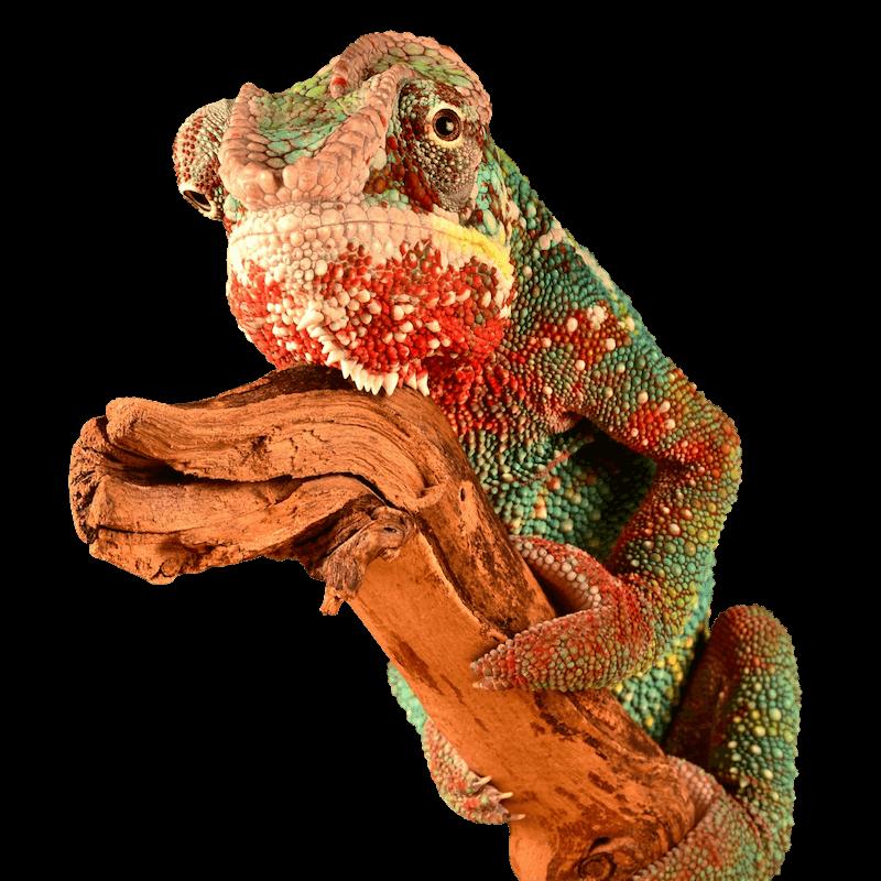 Chameleon Brick Tinting mascot
